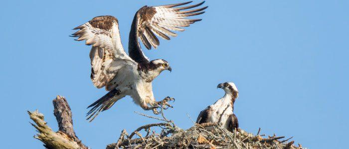 Ospreys, Boulder County, Colorado