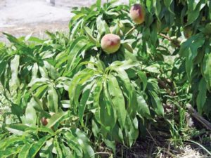 Late Summer Fruit Tree Care