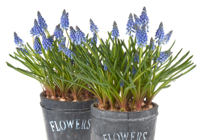 CSU Extension: Forced bulbs help beat winter blues