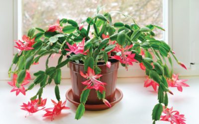 Taking Care of Holiday Plants