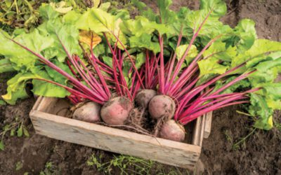 Gardening to an Age-Old Beet