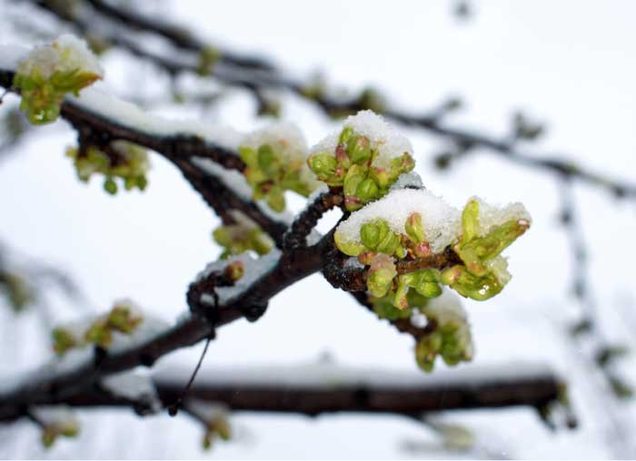 Sleet, Snow Not a Blast for Fruit Trees