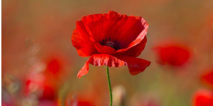 Sacrifice and a Small Red Poppy